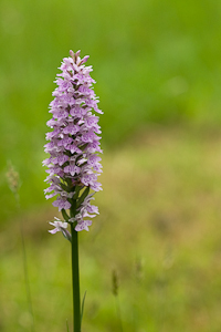Common Spotted Orchid (asp06-4139)