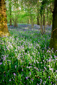 Bluebells at Pamphill (asp10-7303)