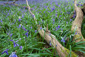 Bluebells at Pamphill (asp10-7305)