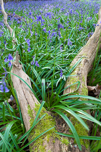 Bluebells at Pamphill (asp10-7308)