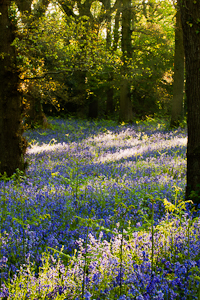 Bluebells at Pamphill (asp100-0056)
