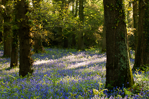 Bluebells at Pamphill (asp100-0057)