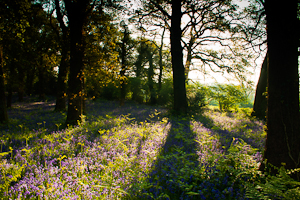 Bluebells at Pamphill (asp100-0061)