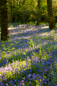 Bluebells at Pamphill (asp100-0063)
