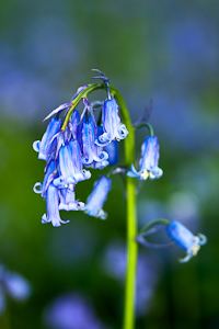 Bluebells at Pamphill (asp100-0080)