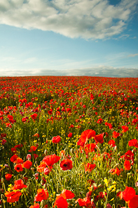 Poppies (asp100-0571)