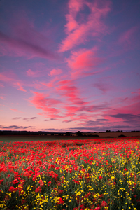 Field Of Red (asp100-4836)