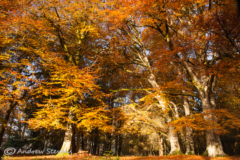 Canopy Of Colour, New Forest (asp100-4305)
