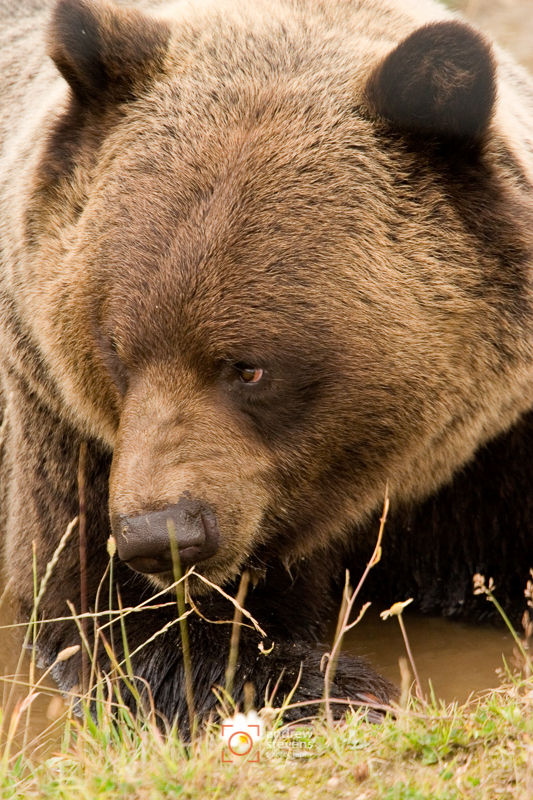 Brown Bear (asp05-3060)