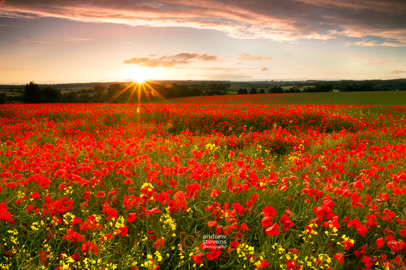 Poppy sunset (asp100-4824)